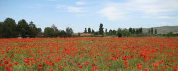 poppies_near_narbonne